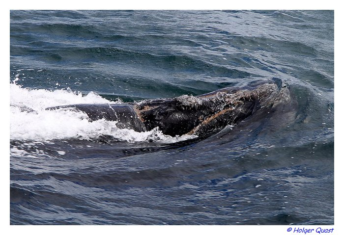 Southern Right Whales in de Walkers Bay