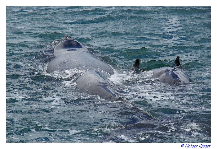Southern Right Whales - Herman us - De Kelders