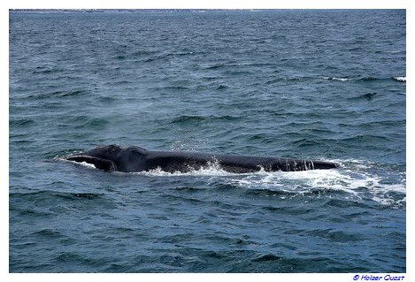 Southern Right Whales vor Südafrika
