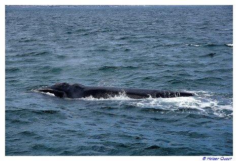 Southern Right Whales vor Südafrika